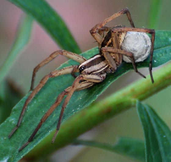 Spider with Egg - Rabidosa rabida - female