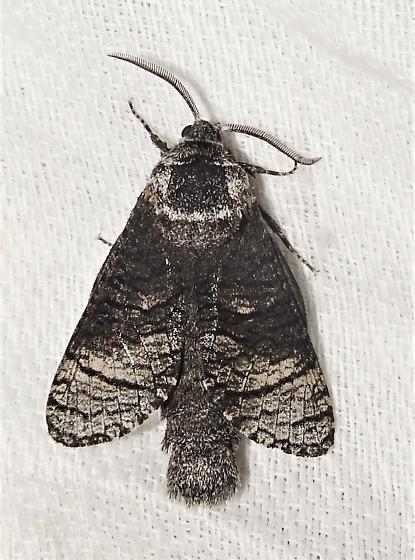 Acossus centerensis