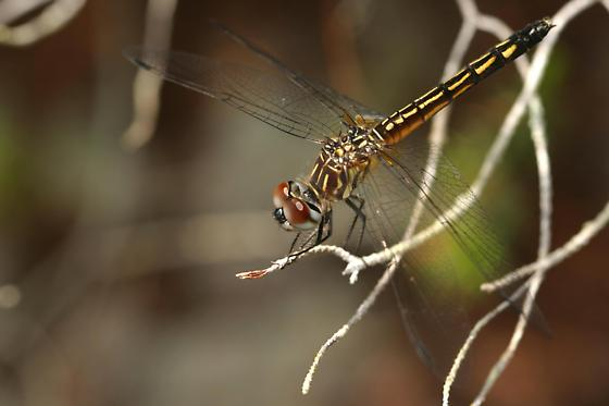 Blue Dasher, female - Pachydiplax longipennis - female