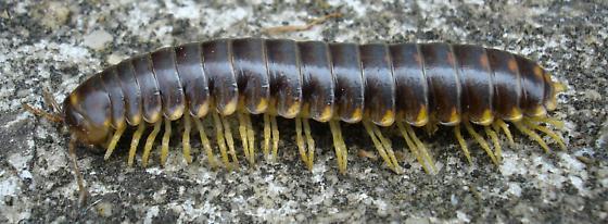 Millipede Mania - Apheloria tigana