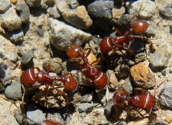 Fire ants - Pogonomyrmex barbatus