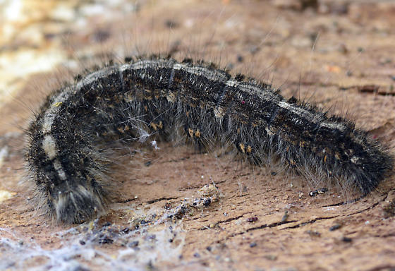 Catocala sp
