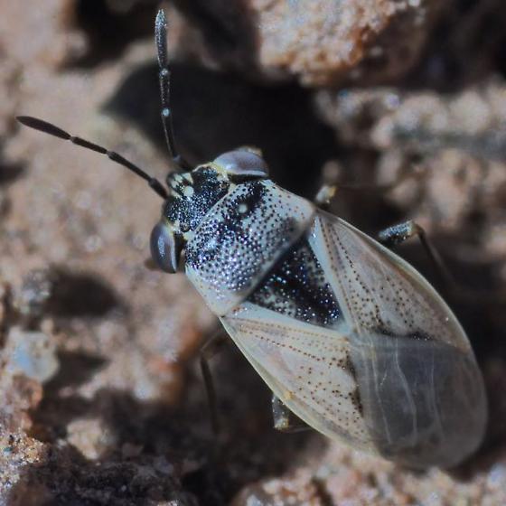 Bug ~3.7mm - Geocoris