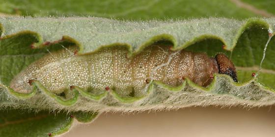 Dreamy Duskywing caterpillar - Erynnis icelus