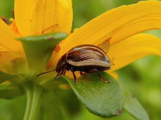 Chrysomelidae - Calligrapha bidenticola