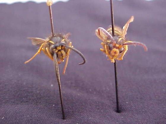 Dolichovespula Alpicola Male (front view) - Dolichovespula alpicola - male