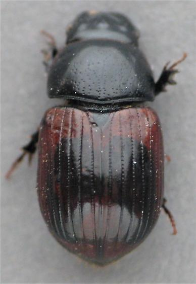 I believe this is A. haemorrhoidalis?