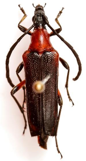 Cyphonotida rostrata borealis - Cyphonotida rostrata