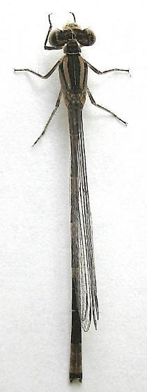 Damselfly - Enallagma carunculatum