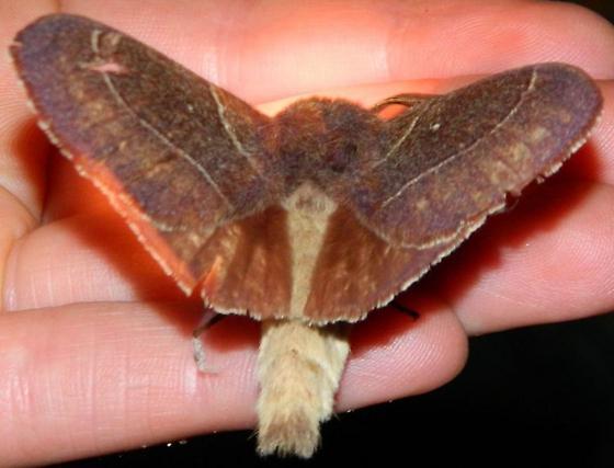 Moth #3 - Dicogaster coronada - male