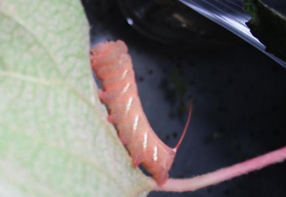 3rd instar - Eumorpha achemon