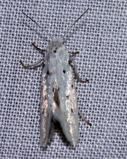 possible? Prodoxus quinquepunctella or  Doa ampla
