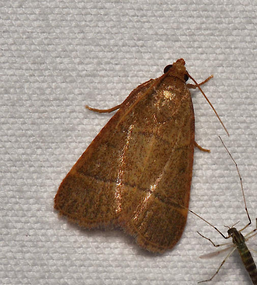 Unidentified Moth - Hypsopygia nostralis
