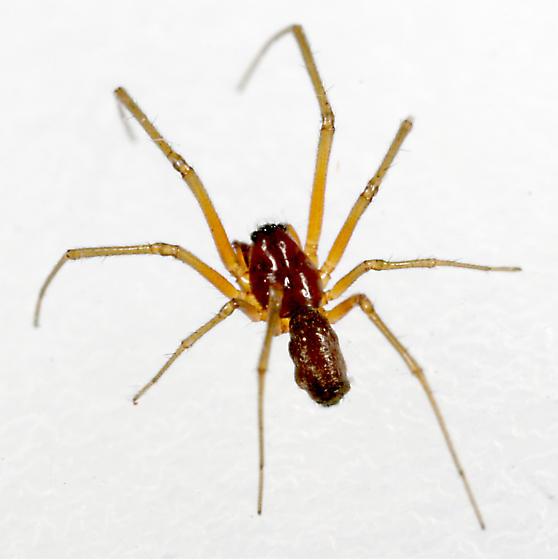 Spider BG406 - male