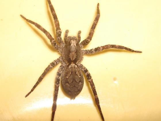 Gladicosa pulchra - female