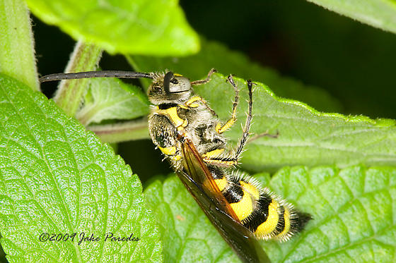 Wasp of some kind - Dielis trifasciata - male