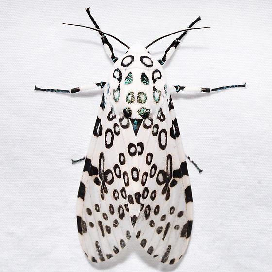 Hypercompe scribonia - male