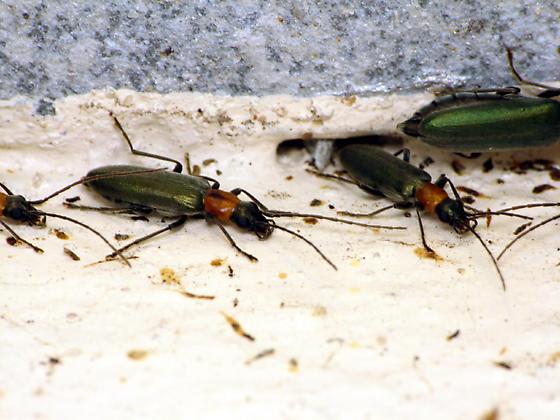 Bunch o' beetles - Oxycopis mcdonaldi
