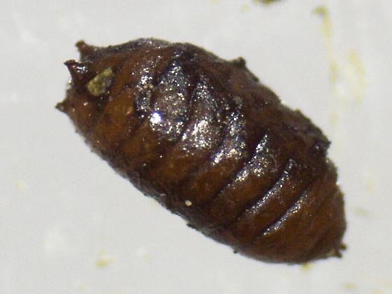 St. Andrews Leaf miner on Lonicera sempervirens SA312 pupa 2016 2 - Aulagromyza orbitalis