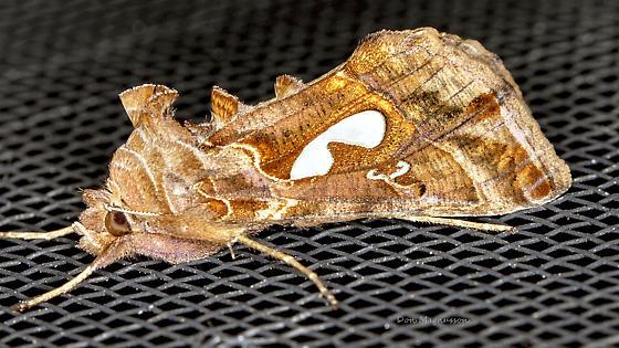 Moth - Megalographa biloba