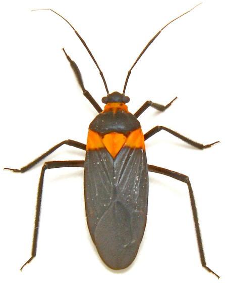 Prepops - Platytylus - female
