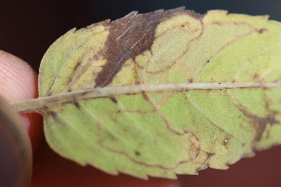 Unid Leafminer Gmf1