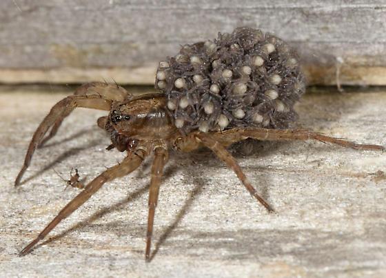 Spider IMG_1978 - Trochosa - female