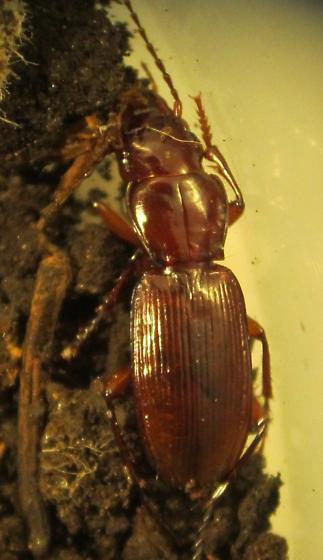 Pterostichus hypogeus