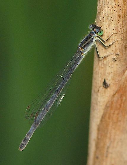 Eastern Forktail Damselfly - Ischnura verticalis - female