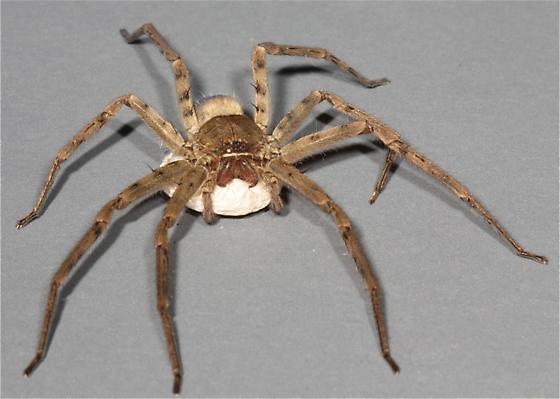 Huntsman Spider w/Egg Sac - Heteropoda venatoria - female