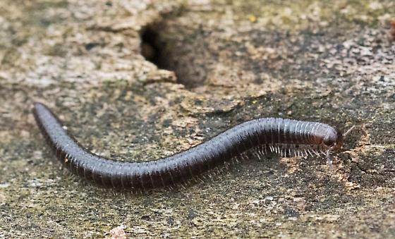 Millipede - Narceus sp.? - Ophyiulus pilosus
