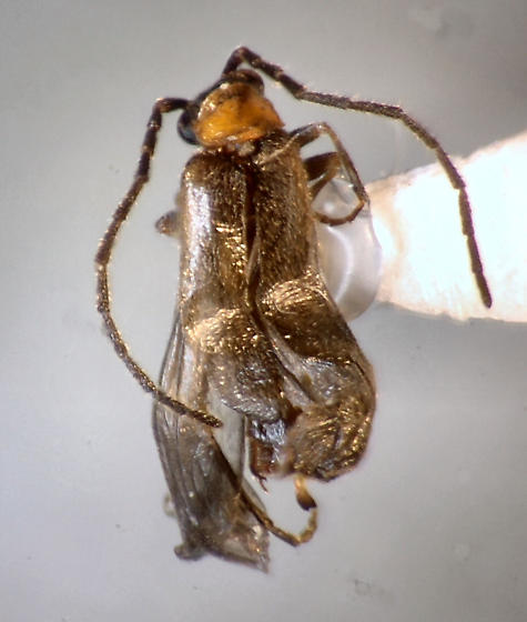 very small Cantharid - Malthodes - male