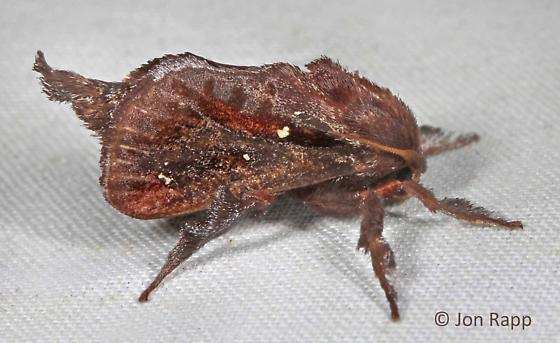 Saddleback Caterpillar Moth - Acharia stimulea