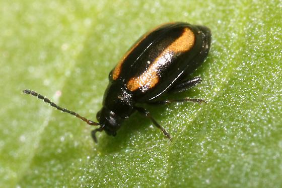 Phyllotreta striolata? - Phyllotreta striolata