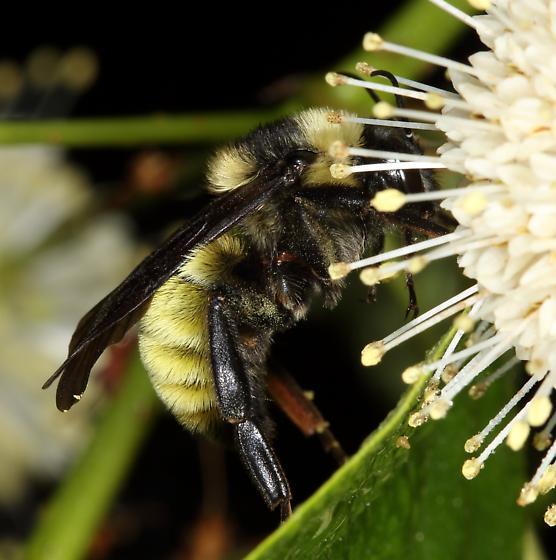 Bee - Bombus pensylvanicus