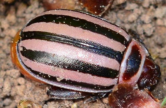 Pink-striped Beetle? - Kuschelina petaurista