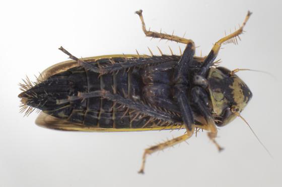 Amblysellus curtisii - female