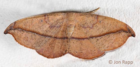 Juniper-Twig Geometer Moth - Patalene olyzonaria