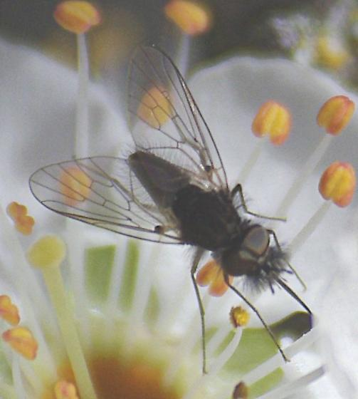 Fly on plum - Neacreotrichus - male
