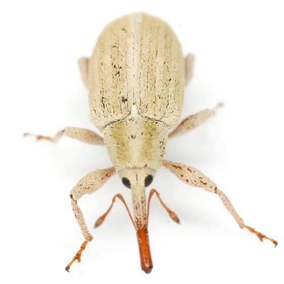 Anthonomus sphaeralciae Fall - Anthonomus sphaeralciae