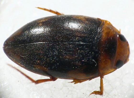 Neoporus sp. - Neoporus clypealis