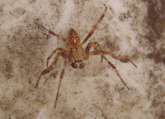Spider wants to know what he is. - Araneus diadematus