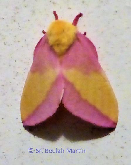 moth from Virginia - Dryocampa rubicunda