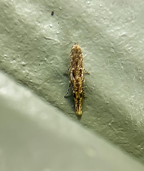 Batrachedra praeangusta - Batrachedra
