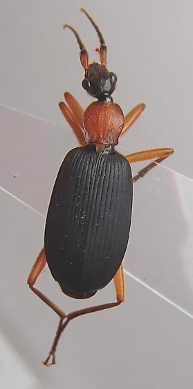 Beetle - Galerita janus
