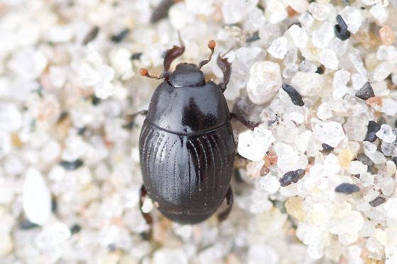 Unknown Hister Beetle - Carcinops pumilio