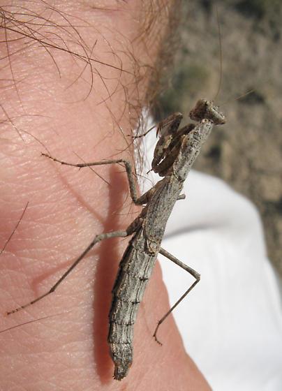 Mantid - Litaneutria skinneri - female