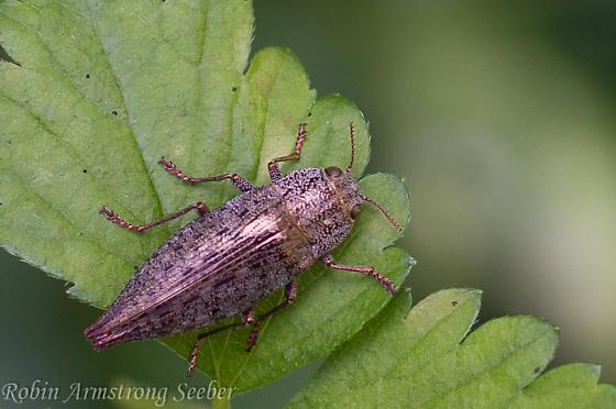 buprestidae~ ? species - Dicerca divaricata