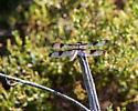 Unknown Dragonfly - Libellula pulchella