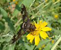 Very large bee fly - Exoprosopa